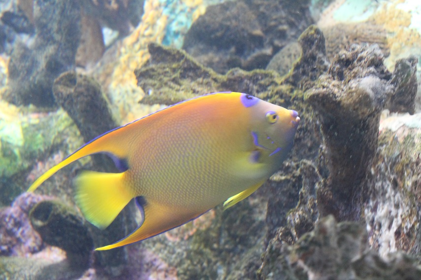 Queen Angelfish at Mote
